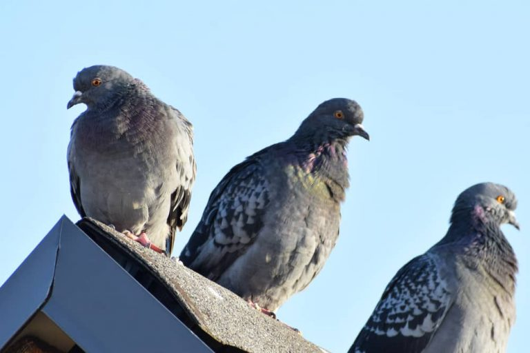 piegons in the roof
