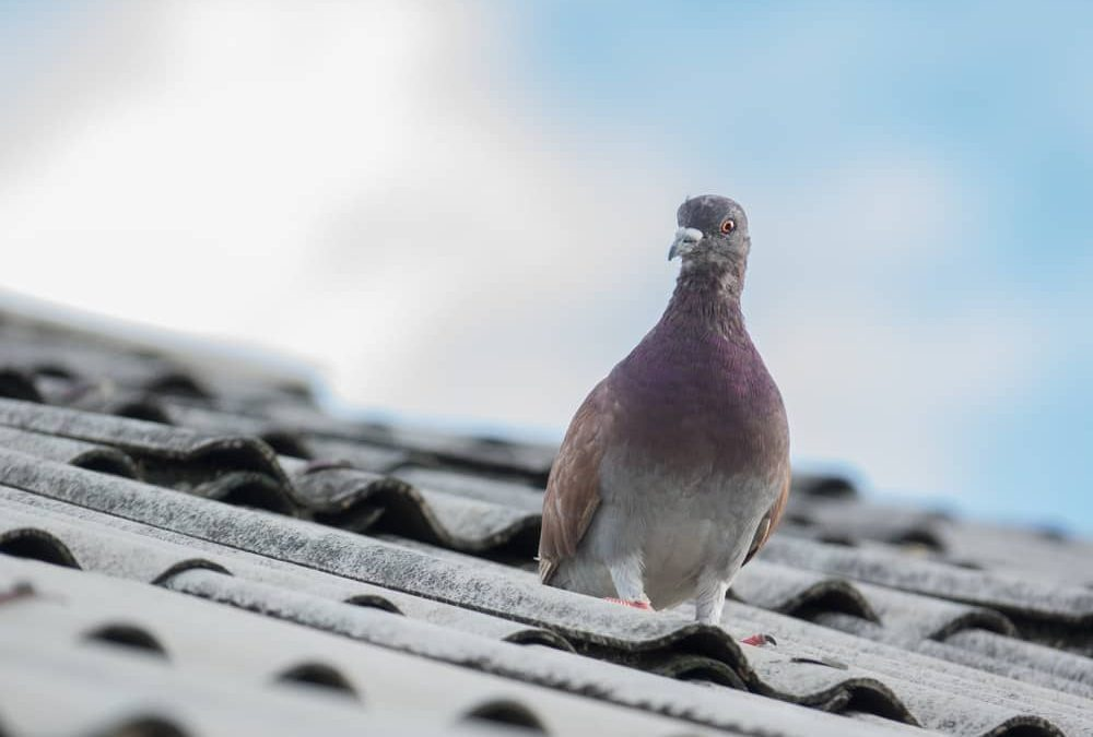 pigeon-dove-on-roofs-